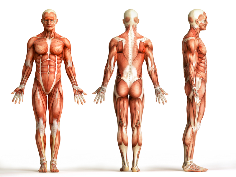 اقوى و اضعف عضلة في جسم الانسان مقالات