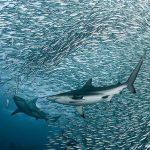انجازات المملكة في تنمية قطاع الثروة السمكية