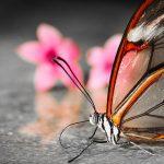 """اجمل الكائنات """" الفراشة ذات الأجنحة الزجاجية """""""