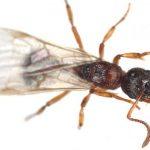 النمل الطائر وطرق إبادته من المنزل
