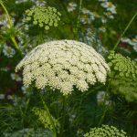 الفوائد الطبية لنبات بذرة الخلة