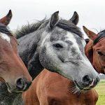 تاريخ و مميزات سلالة الخيول البربرية
