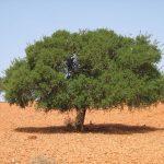 قصة بيعة الرضوان أو بيعة الشجرة