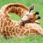 عجائب طرق النوم لدى الحيوانات