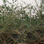 فوائد عشبة الروحب و موانع استخدامها