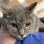صفات قطط ليكوي المهجن و سبب تسميتها بهذا الاسم
