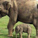 مدة حمل الفيلة و عدد صغارها