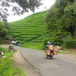 مزارع الشاي في تشيبودي بباندونغ