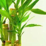 فوائد نبات عصا موسى وأهم استخداماته