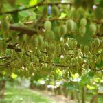 كيفية زراعة أشجار الكيوي