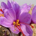طريقة زراعة نبات الزعفران بالمنزل