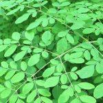 طرق زراعة شجرة المورينجا