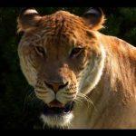 معلومات عن حيوان اللايقر بالصور