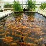 مميزات وعيوب مشروع لتربية الأسماك فوق أسطح المنازل