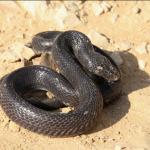 معلومات عن حيوان الصل الأسود