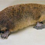 معلومات عن حيوان البلاتيبوس وانقراض سلالته