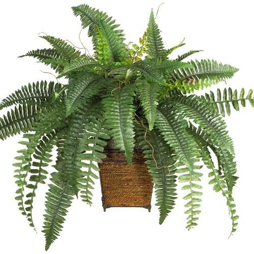 نبات سرخس بوسطن %D8%B3%D8%B1%D8%AE%D8%B3-%D8%A8%D9%88%D8%B3%D8%B7%D9%86
