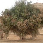 فوائد نبات الهجليج في طرد الديدان