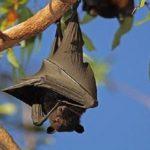 الفرق بين الوطواط و الخفاش