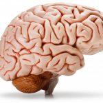 تقرير عن تركيبة ولون وشكل الدماغ البشري