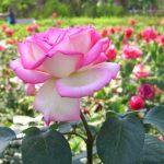 طريقة تقليم الورد البلدي
