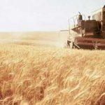 إعادة السماح بشراء القمح من المزارعين بالمملكة