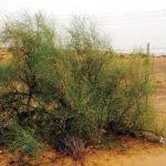اسباب اهتمام السعودية في زراعة نبات الارطى