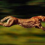 كم تبلغ سرعة حيوان الفهد
