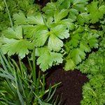 علاج الالتهاب الرئوي بالأعشاب