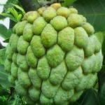 5 فوائد مذهلة لأوراق فاكهة القشطة