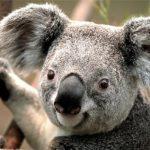 اسباب انقراض حيوان الكوالا