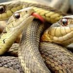 كيفية افتراس الثعابين لفريسة أكبر من حجمها