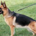 انواع و مواصفات الكلاب الجيرمن