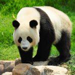 اسباب انقراض حيوان الباندا