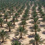 إنشاء مشروع زراعة المليون نخلة بولاية عبري العمانية