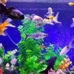 الأمراض الشائعة في أسماك الزينة