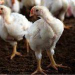 علاج الاسهال الابيض عند الدجاج