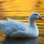 أشهر سلالات البط و أفضل الأماكن لتربيته