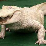 """معلومات عن التمساح الأبيض """" White alligator """""""