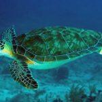 البيئة العمانية ودورها في الحفاظ على السلاحف الخضراء