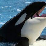 كشف لغزِ مرورِ الحيتان القاتلة بسن اليأس