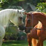 أسباب المغص في الخيول و كيفية علاجه و الوقاية منه