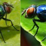 الفوائد البيطرية والطبية للذباب الأزرق والأخضر