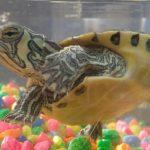 امراض العيون في السلاحف