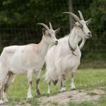 الحمل عند الماعز و علامات اقتراب الولادة