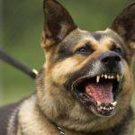 خطوات تدريب الكلاب على الشراسة
