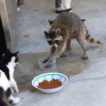 حيوانات تشتهر بالبراعة في السرقة