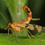 معلومات عن حشرة فراشة العقرب الطائرة