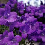كيفية زراعة زهرة البنفسج و الاعتناء بها