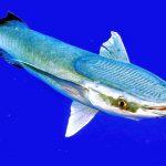 """معلومات عن سمك الريمورا اللاصقة """" اللزاق قملة القرش """""""